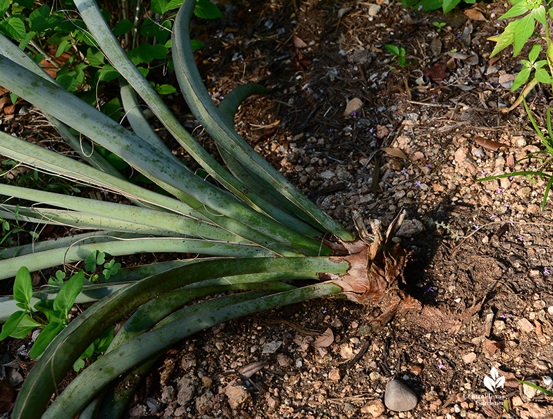 Yucca root rot in clay soil Central Texas Gardener