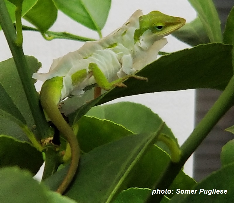 anole molting photo by Somer Pugliese Central Texas Gardener