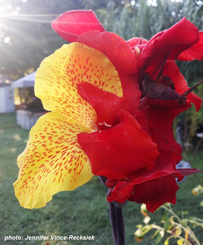 canna with two colors of flowers one plant Jennifer Vince-Recksiek Central Texas Gardener