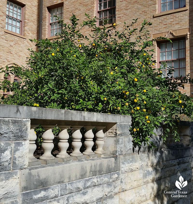lemon tree at UT dorm Central Texas Gardener
