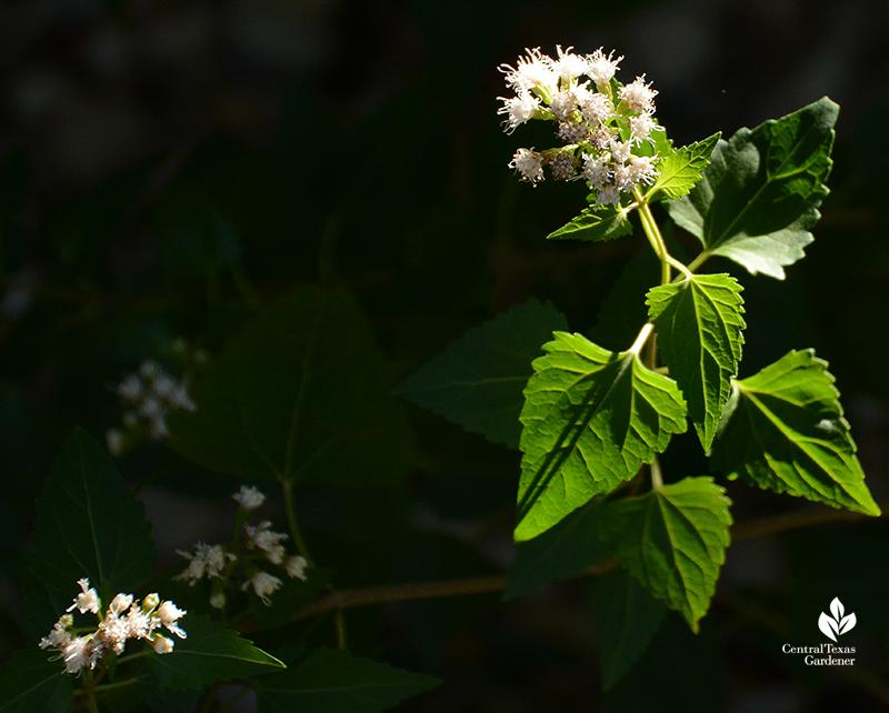 white mistflower shrubby boneset Ageratina havanensis native plant Central Texas Gardener