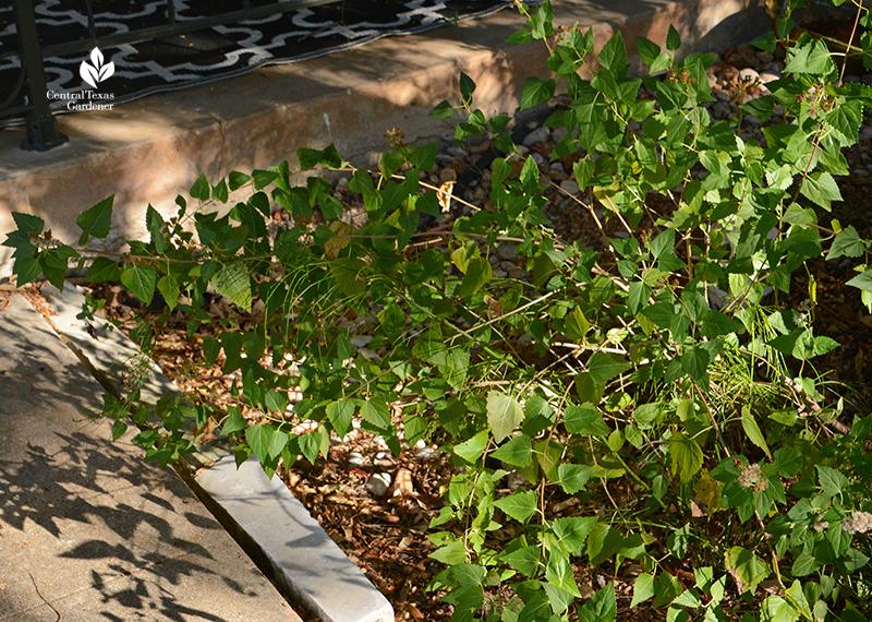white mistflower snakeroot Ageratina havanensis Central Texas Gardener