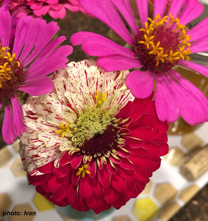 zinnia with two colors of petals Somatic mutation photo by Ivan Central Texas Gardener