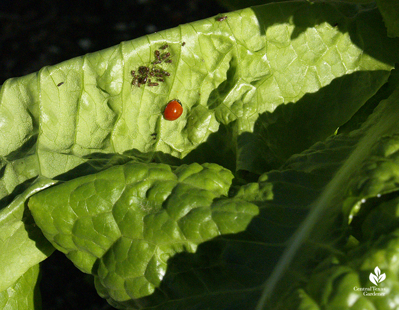 Ladybug beneficial insect natural control on aphids