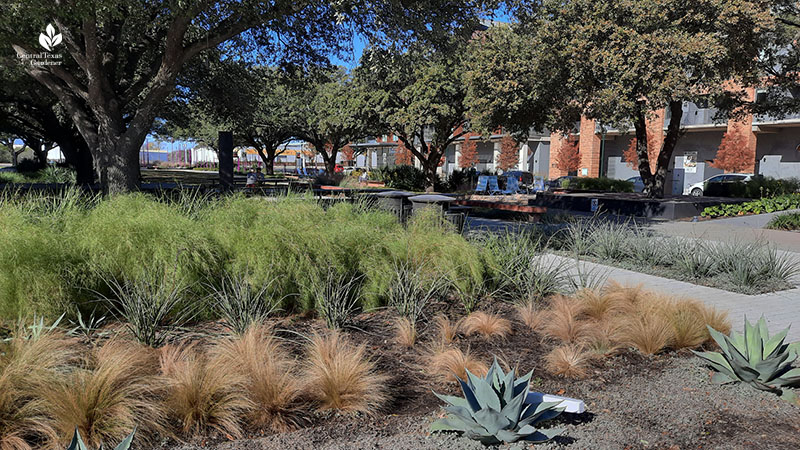 Jacob Fontaine Plaza ACC Highland bamboo muhly Mexican feather grass agave Central Texas Gardener