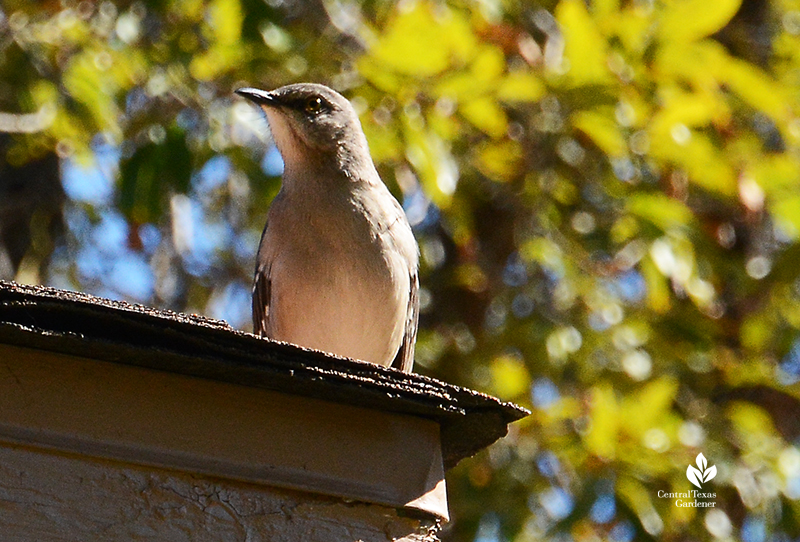 Mockingbird waiting for yaupon holly berries Central Texas Gardener
