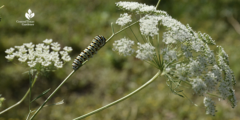 Swallowtail caterpillar on parsley Central Texas Gardener