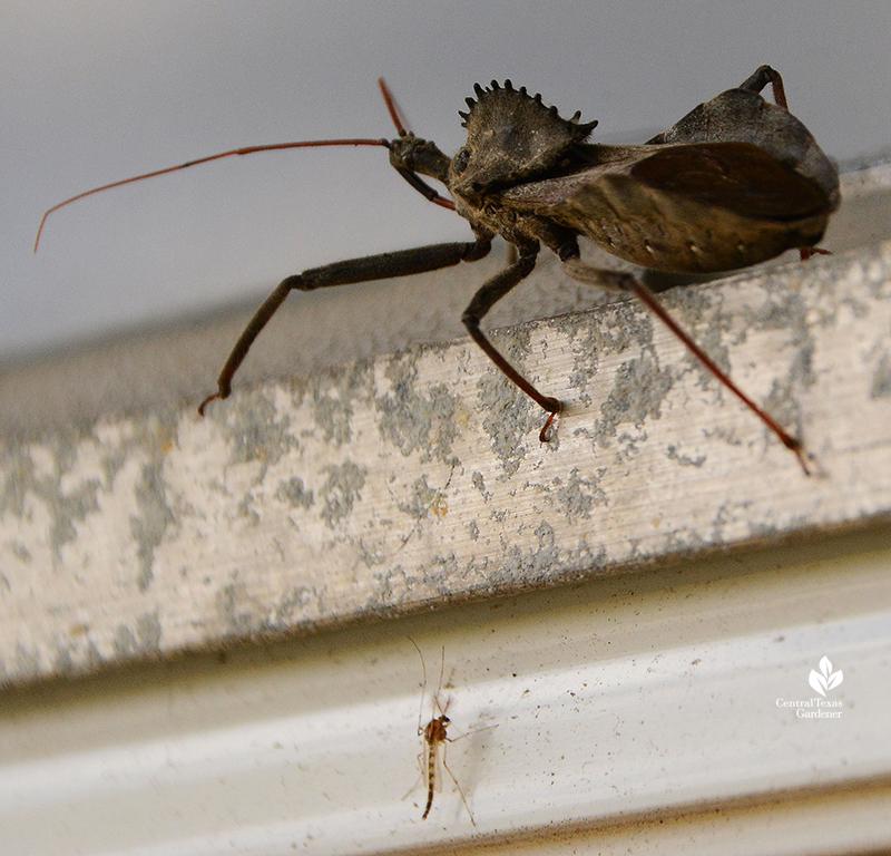 Wheel bug beneficial insect predator Central Texas Gardener
