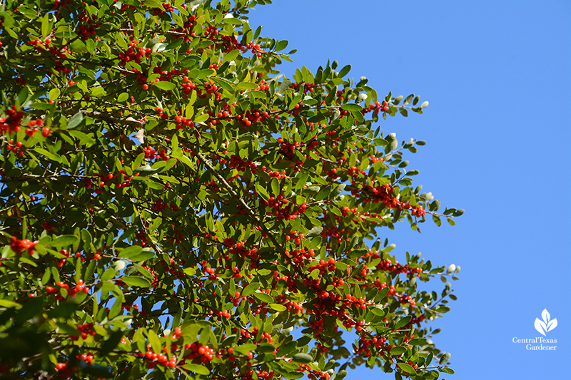 Yaupon holly fruits red berries Central Texas Gardener