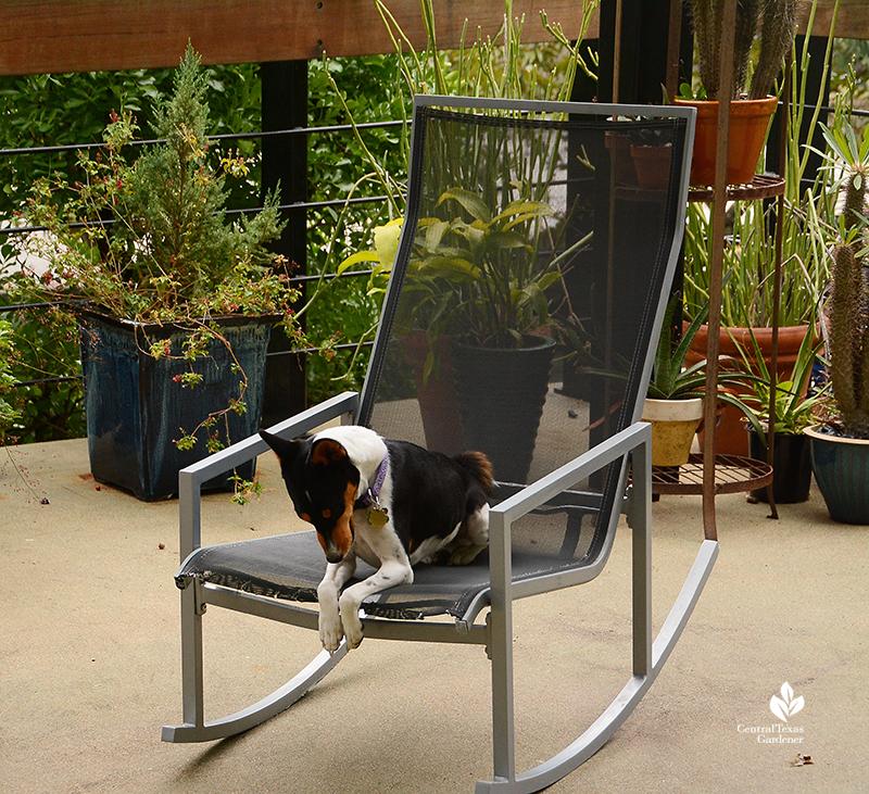 Cute Basjenji looks like praying in patio chair Harper Duhon Central Texas Gardener