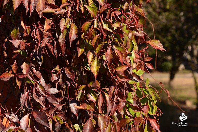 Fall color native Virginia creeper vine Central Texas Gardener