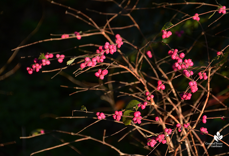 Native coralberry for dry shade Central Texas Gardener