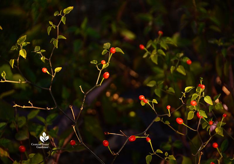 chile pequin fruits for birds and mammals dry shade garden Central Texas Gardener