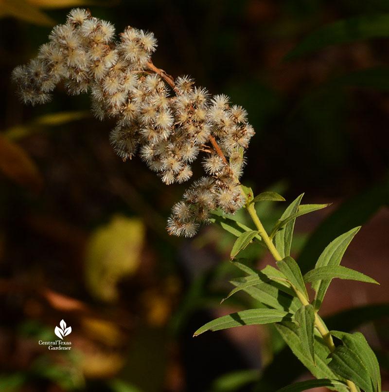 goldenrod seed heads Central Texas Gardener