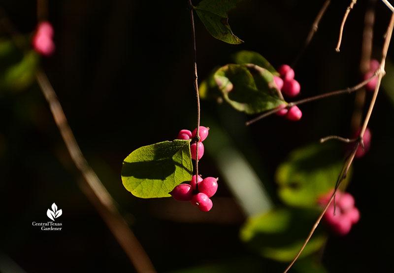 native coralberry fruits Central Texas Gardener