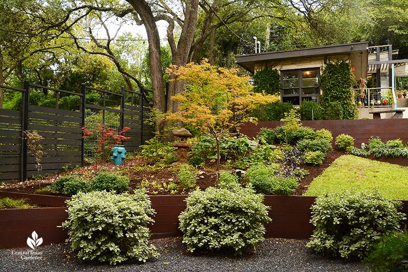 shady garden Japanese maples ligularia steel plate retaining wall harsh slope Harper Duhon design Central Texas Gardener