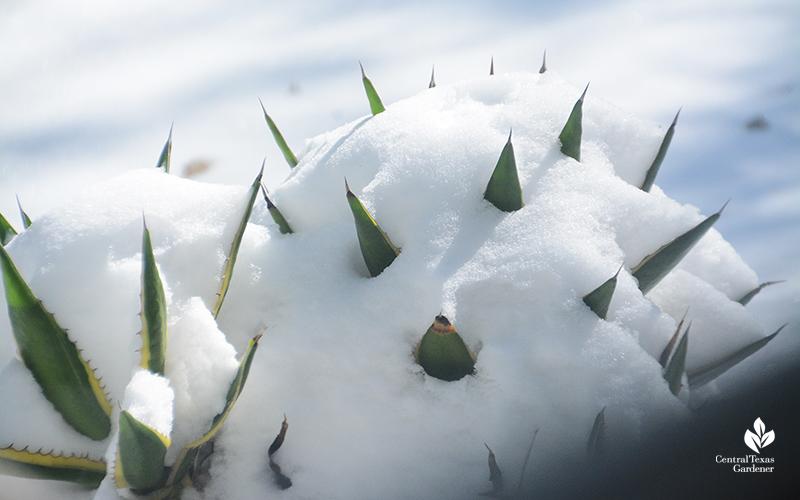 Agave schidigera snow Austin Central Texas Gardener