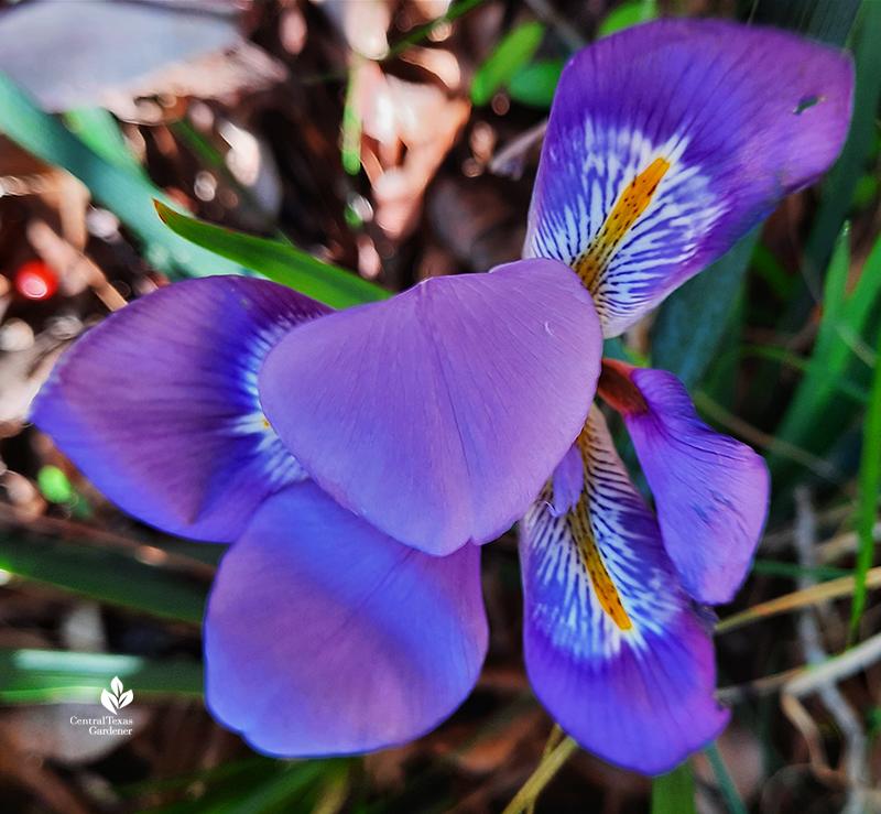 Algerian iris bloom January Central Texas Gardener