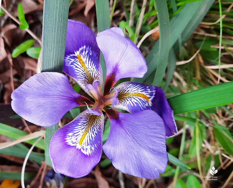 Algerian iris intricate petal falls Central Texas Gardener