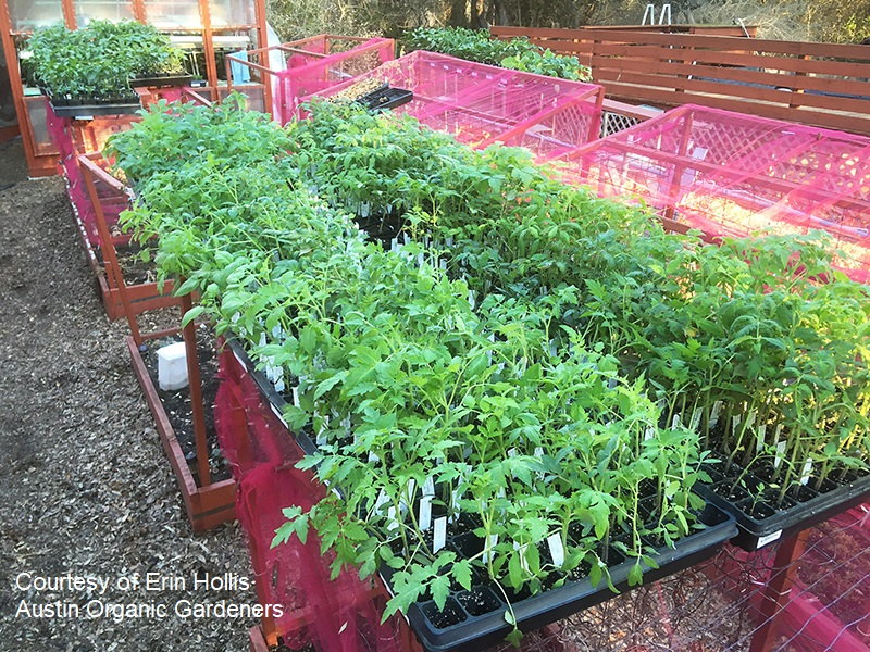 Austin Organic Gardeners vegetable transplants photo by Erin Hollis