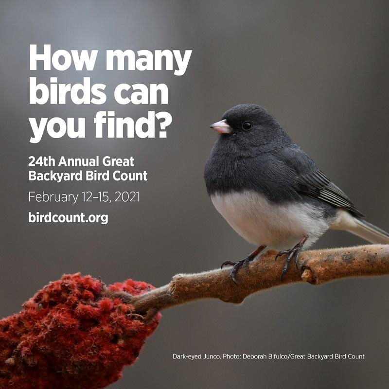 Dark-eyed Junco Great Backyard Bird Count Central Texas Gardener