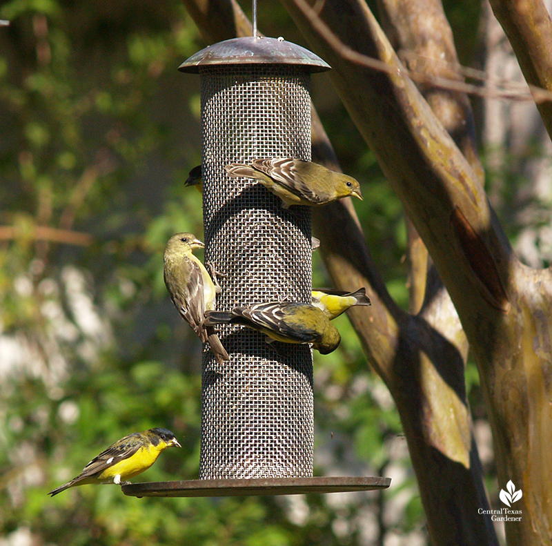 Lesser goldfinches on nyjer seed feeder Central Texas Gardener
