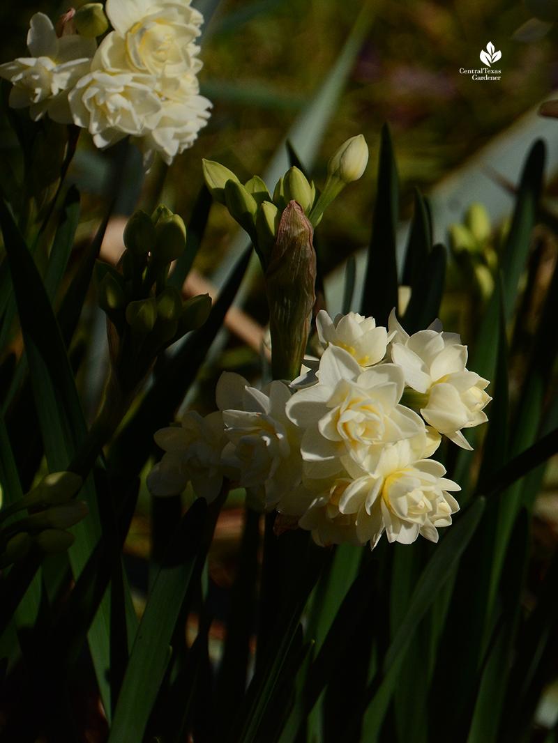 Narcissus 'Erlicheer' clump return winter bulbs Central Texas Gardener