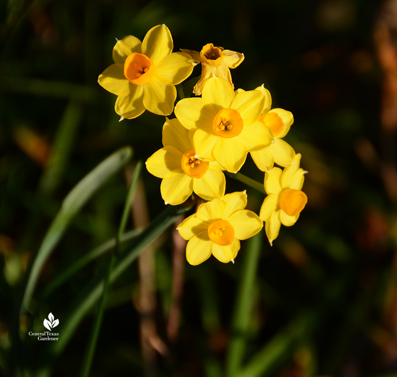 Narcissus Falconet spring flower Central Texas Gardener