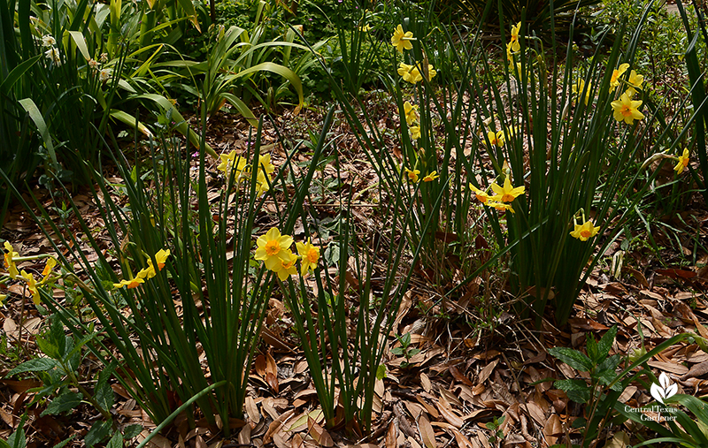 Narcissus 'Falconet' winter bloomer with dormant perennials Central Texas Gardener