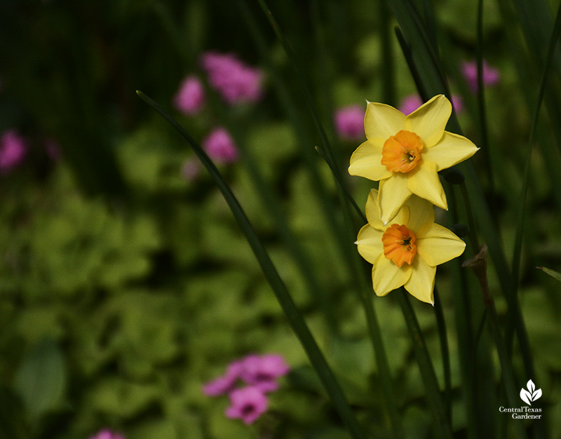Narcissus 'Falconet' with oxalis Central Texas Gardener