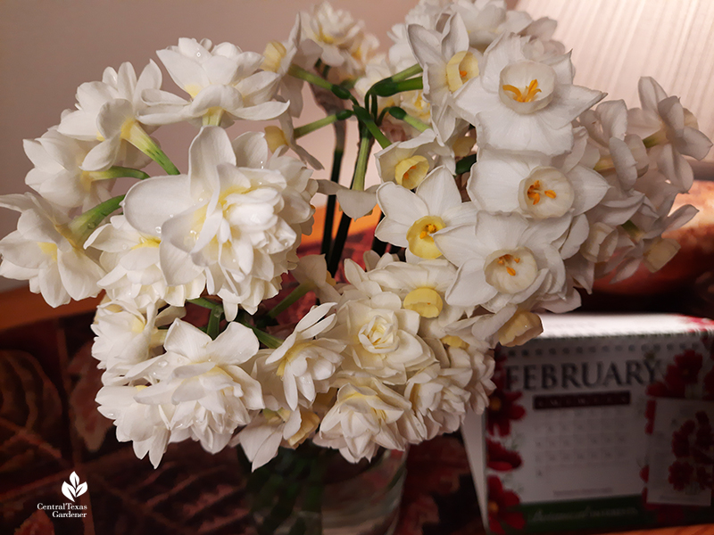 Narcissus Grand Primo and Erlicheer cut flowers Central Texas Gardener