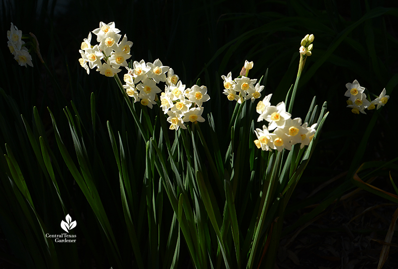 Narcissus 'Grand Primo' clump winter bulbs Central Texas Gardener