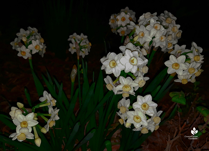 Narcissus Grand Primo flowers by moonlight Central Texas Gardener