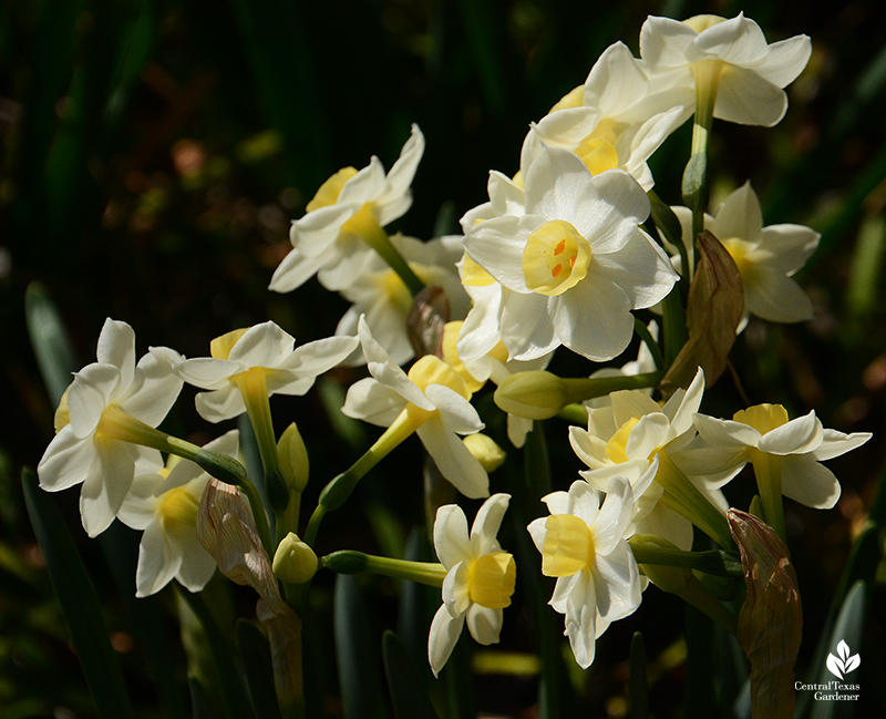 Narcissus 'Grand Primo' small yellow cups white petals Central Texas Gardener
