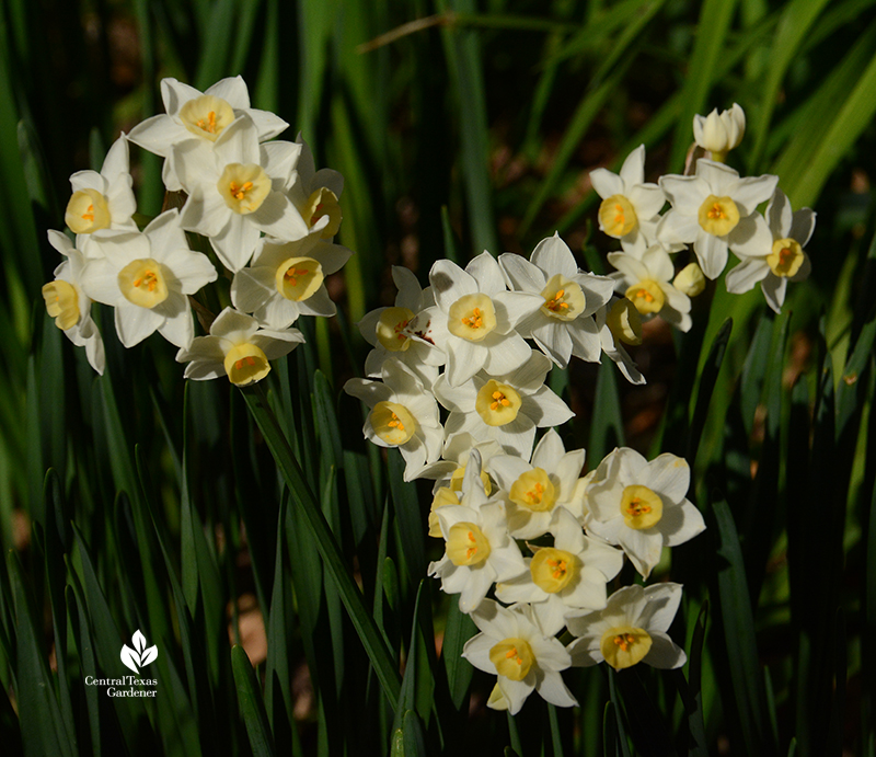 Narcissus 'Grand Primo' sweetly fragrant Central Texas Gardener