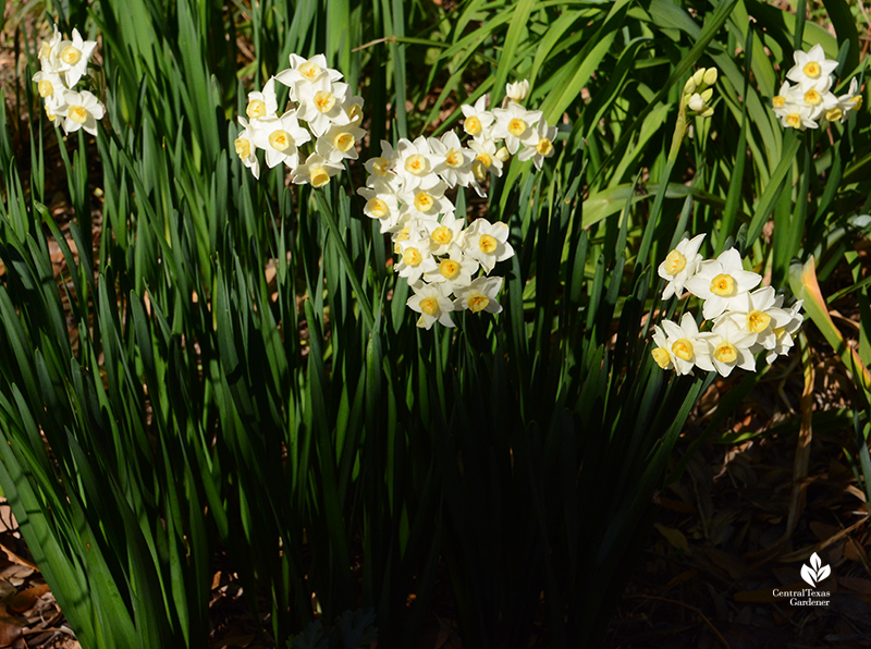 Narcissus 'Grand Primo' winter bulb clumps good for Central Texas