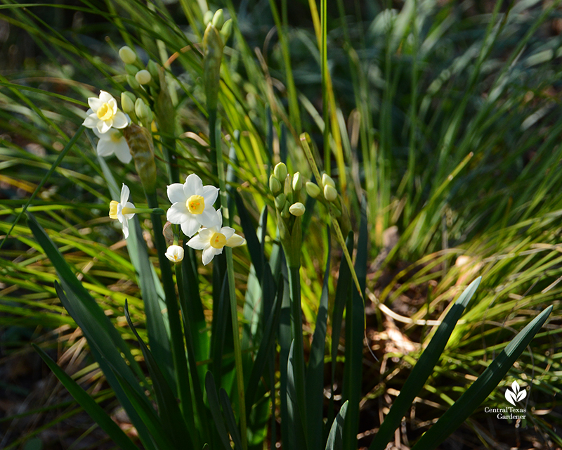 Narcissus Grand Primo with lomandra Central Texas Gardener