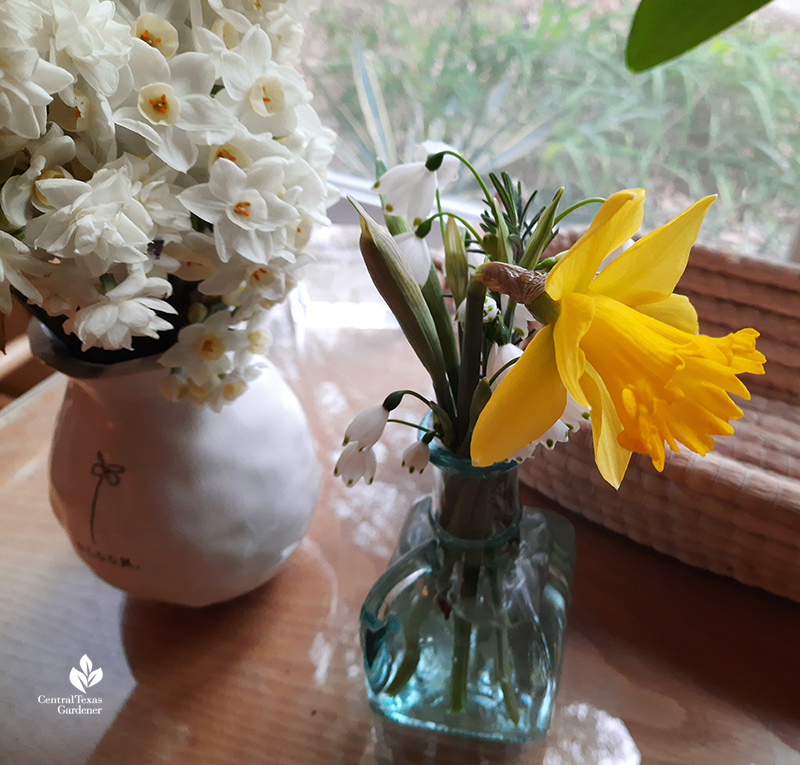 Narcissus Marieke budded in house after freeze Central Texas Gardener