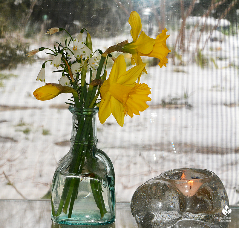 Narcissus 'Marieke' buds open in vase snow rescue Austin Texas Central Texas Gardener