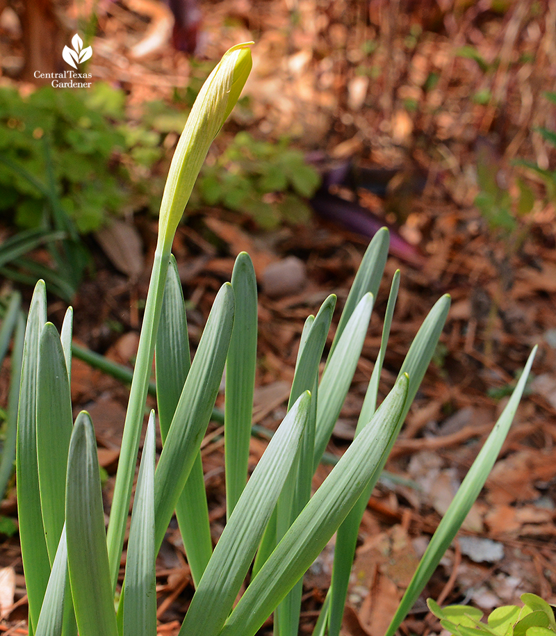 Narcissus 'Marieke' in bud Central Texas Gardener