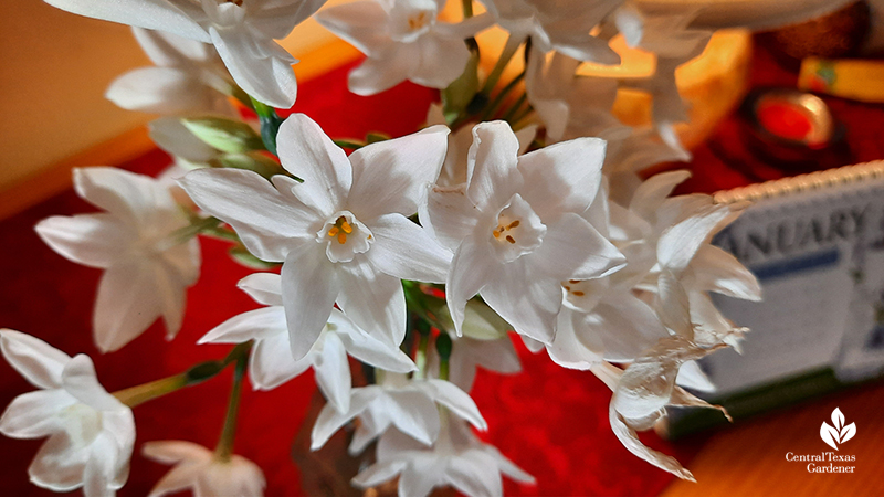 Narcissus Paperwhite cut flowers working from home Central Texas Gardener