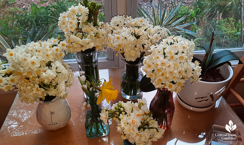 Narcissus flowers in vases rescued from freeze Central Texas Gardener