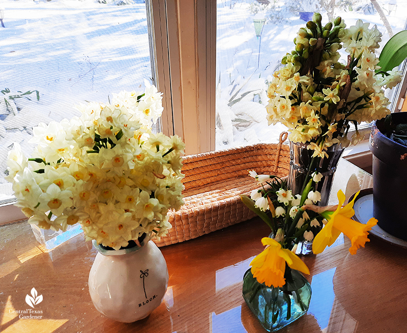 Narcissus in vases rescued from freeze rare Austin snow Central Texas Gardener