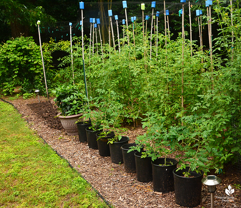 Patio small tomatoes for containers Central Texas Gardener