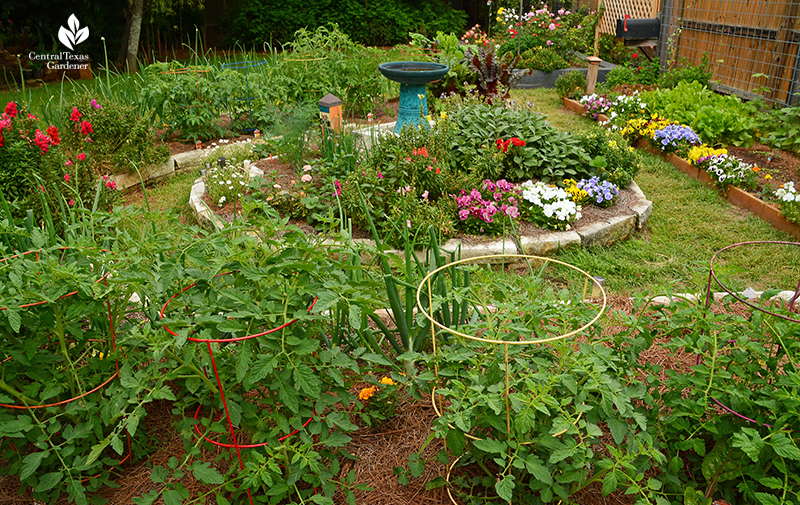 Paul Robeson tomatos in food and flower Susan and Matt Snyder Central Texas Gardener