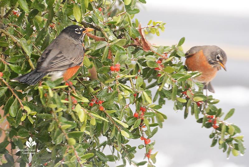 Robin duo_yaupon holly fruits_snow Austin Central Texas Gardener