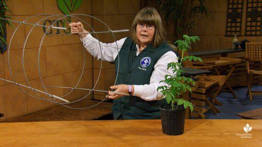 Sheryl Williams tomato growing tips Central Texas Gardener