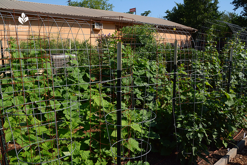 Tomato cages reinforced with T-postss and cattle panel Marble Falls Helping Center Central Texas Gardener