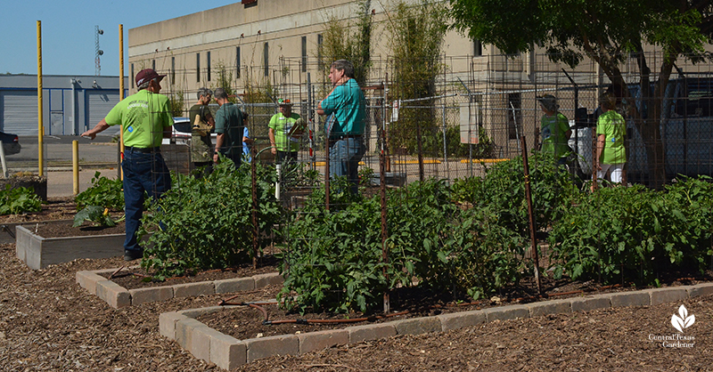 Tomato demonstration beds Travis County Texas A&M AgriLife Extension Central Texas Gardener