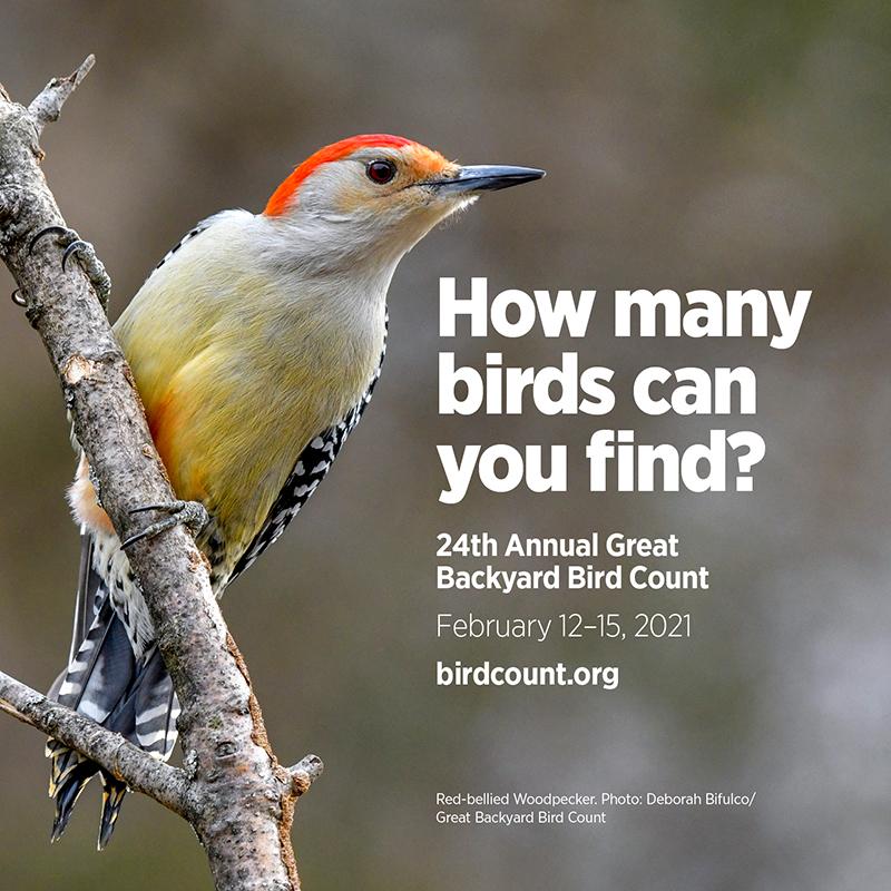 Woodpecker Great Backyard Bird Count Central Texas Gardener